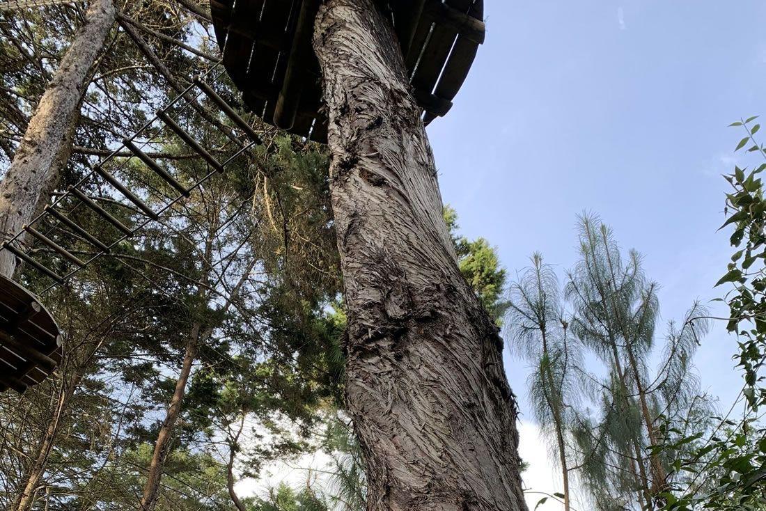 Parque de plataformas montados sobre Cipreses, se puede ver muy bien el crecimiento helicoidal del tronco.